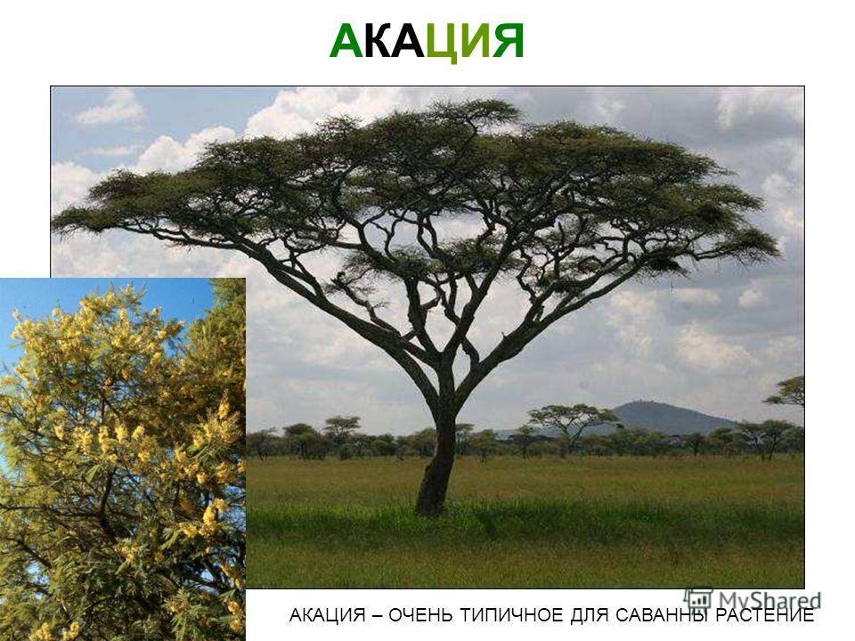 САВАННА САВАННОЙ НАЗЫВАЮТСЯ ОБШИРНЫЕ ТРАВЯНИСТЫЕ РАВНИНЫ - С РЕДКИМИ УЧАСТКАМИ КУСТОВ И ДЕРЕВЬЕВ Саванна саванной называются обширные травянистые равнины - с редкими участками кустов и деревьев