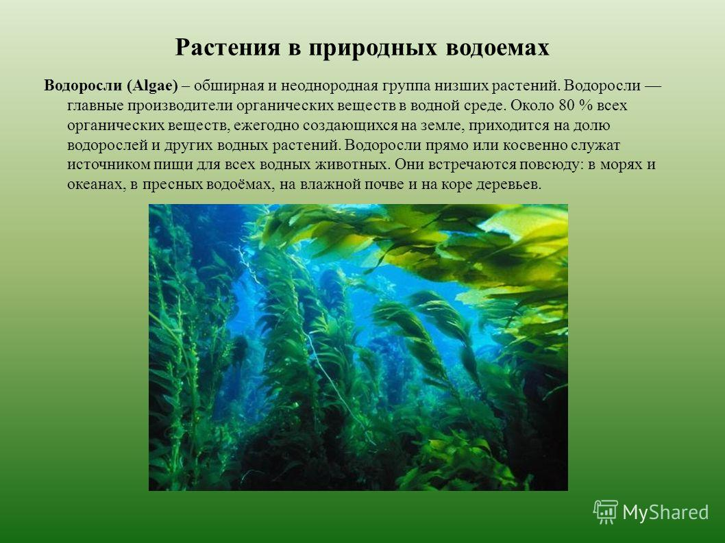 Растения в природных водоемах Водоросли (Algae) – обширная и неоднородная группа низших растенийй. Водоросли главные производители органических веществ в водной среде. Около 80 % всех органических веществ, ежегодно создающихся на земле, приходится на