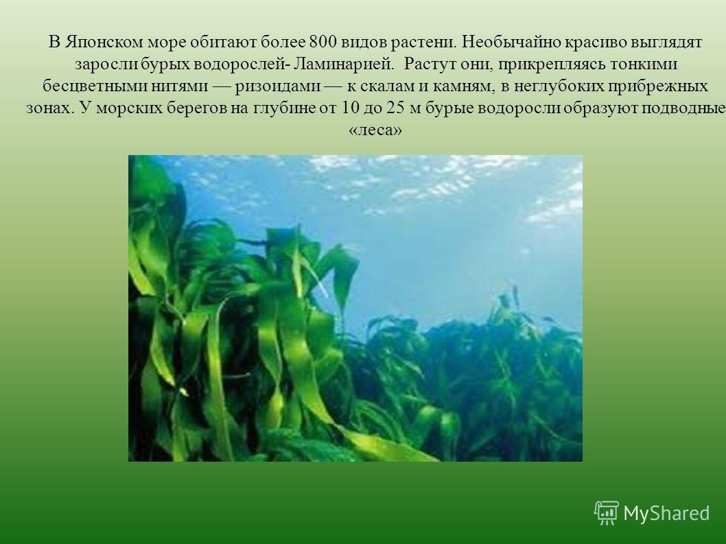 В Японском море обитают более 800 видов растений. Необычайно красиво выглядят заросли бурых водорослей- Ламинарией. Растут они, прикрепляясь тонкими бесцветными нитями ризоидами к скалам и камням, в неглубоких прибрежных зонах. У морских берегов на г