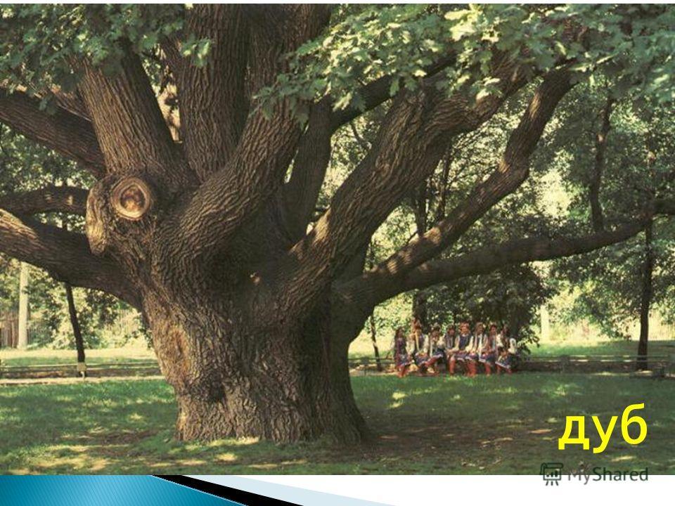Как называется наиболее долговечное из деревьев, в благоприятных условиях доживающее до 1000 лет? дуб