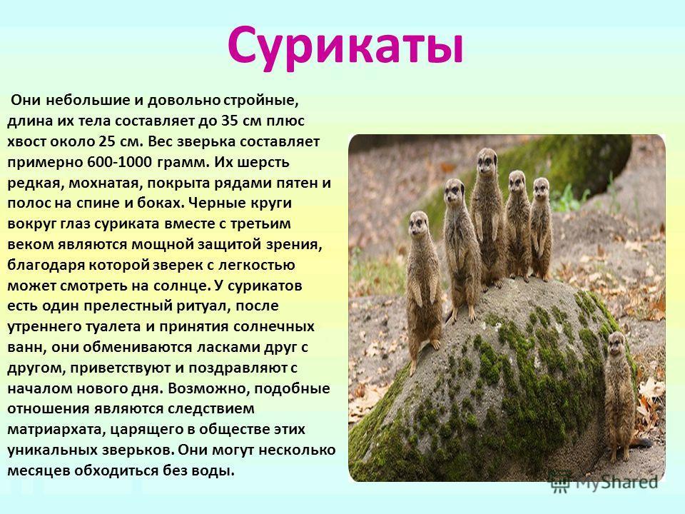 Сурикаты Они небольшие и довольно стройные, длина их тела составляет до 35 см плюс хвост около 25 см. Вес зверька составляет примерно 600-1000 грамм. Их шерсть редкая, мохнатая, покрыта рядами пятен и полос на спине и боках. Черные круги вокруг глаз