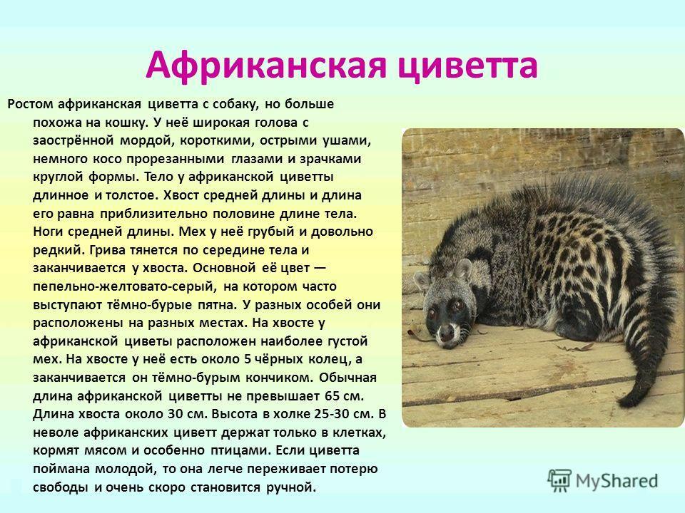 Африканская циветта Ростом африканская циветта с собаку, но больше похожа на кошку. У неё широкая голова с заострённой мордой, короткими, острыми ушами, немного косо прорезанными глазами и зрачками круглой формы. Тело у африканской циветты длинное и
