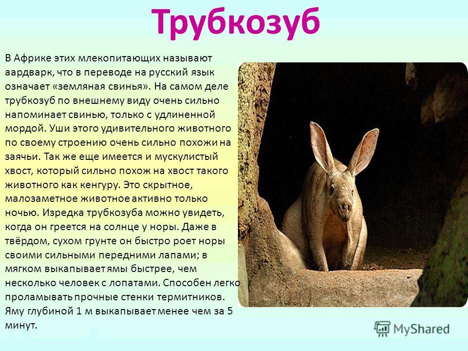 Трубкозуб В Африке этих млекопитающих называют аардварк, что в переводе на русский язык означает «земляная свинья». На самом деле трубкозуб по внешнему виду очень сильно напоминает свинью, только с удлиненной мордой. Уши этого удивительного животного