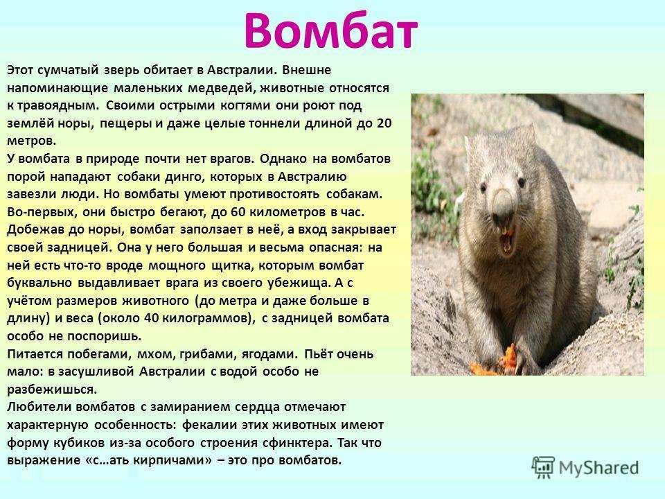 Вомбат Этот сумчатый зверь обитает в Австралии. Внешне напоминающие маленьких медведей, животные относятся к травоядным. Своими острыми когтями они роют под землёй норы, пещеры и даже целые тоннели длиной до 20 метров. У вомбата в природе почти нет в