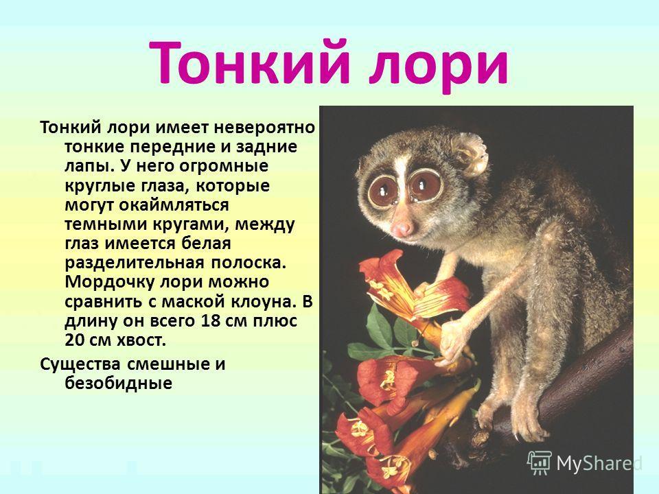Тонкий лори Тонкий лори имеет невероятно тонкие передние и задние лапы. У него огромные круглые глаза, которые могут окаймляться темными кругами, между глаз имеется белая разделительная полоска. Мордочку лори можно сравнить с маской клоуна. В длину о
