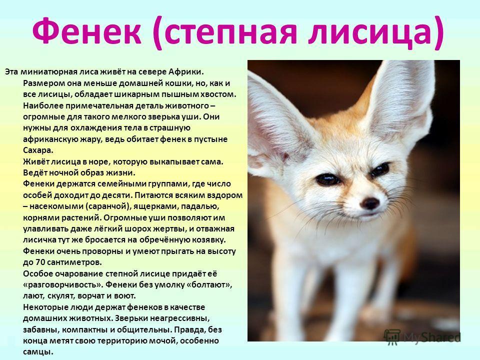 Фенек (степная лисица) Эта миниатюрная лиса живёт на севере Африки. Размером она меньше домашней кошки, но, как и все лисицы, обладает шикарным пышным хвостом. Наиболее примечательная деталь животного – огромные для такого мелкого зверька уши. Они ну