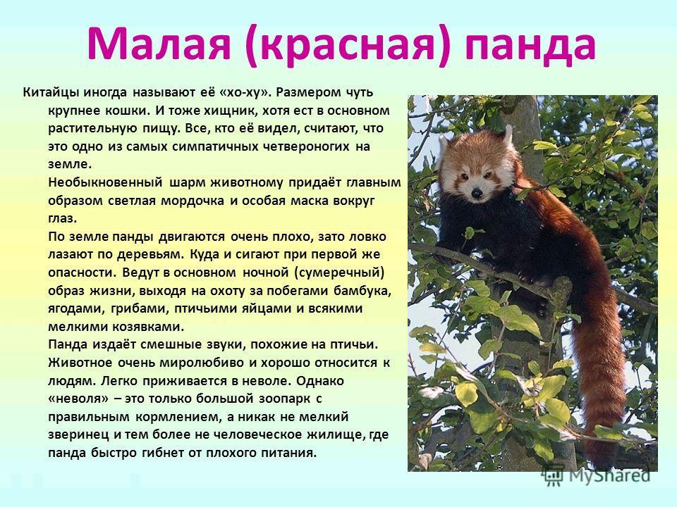 Малая (красная) панда Китайцы иногда называют её «хо-ху». Размером чуть крупнее кошки. И тоже хищник, хотя ест в основном растительную пищу. Все, кто её видел, считают, что это одно из самых симпатичных четвероногих на земле. Необыкновенный шарм живо