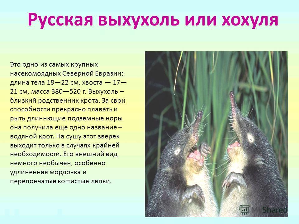 Русская выхухоль или хохуля Это одно из самых крупных насекомоядных Северной Евразии: длина тела 1822 см, хвоста 17 21 см, масса 380520 г. Выхухоль – близкий родственник крота. За свои способности прекрасно плавать и рыть длиннющие подземные норы она