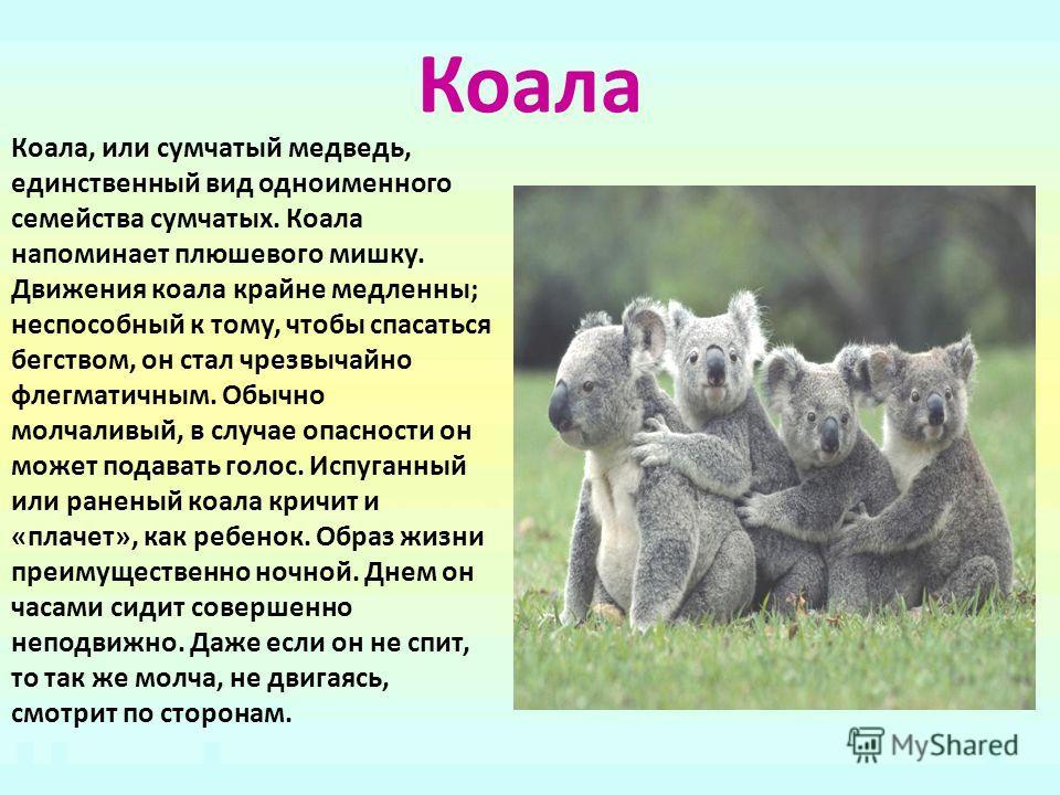 Коала Коала, или сумчатый медведь, единственный вид одноименного семейства сумчатых. Коала напоминает плюшевого мишку. Движения коала крайне медленны; неспособный к тому, чтобы спасаться бегством, он стал чрезвычайно флегматичным. Обычно молчаливый,