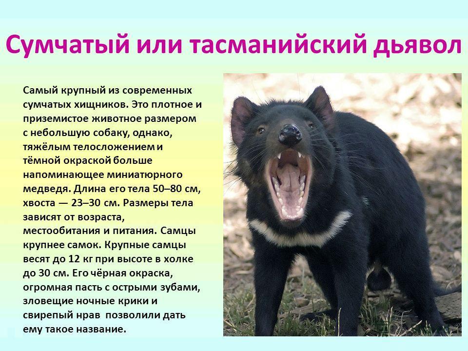 Сумчатый или тасманийский дьявол Самый крупный из современных сумчатых хищников. Это плотное и приземистое животное размером с небольшую собаку, однако, тяжёлым телосложением и тёмной окраской больше напоминающее миниатюрного медведя. Длина его тела