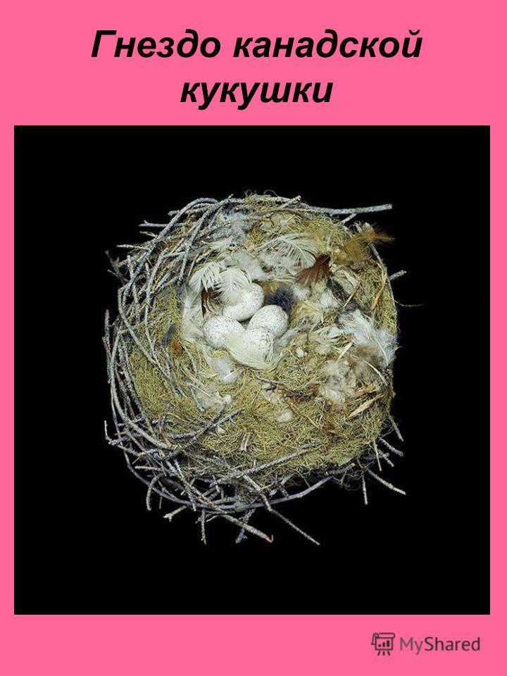Гнездо канадской кукушки