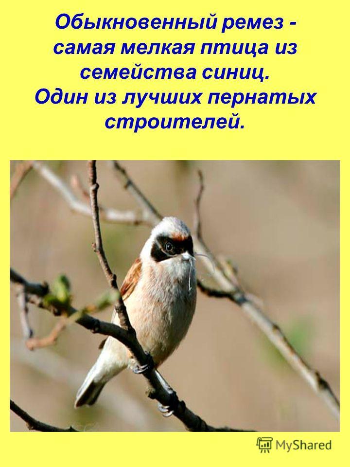Обыкновенный ремез - самая мелкая птица из семейства синиц. Один из лучших пернатых строителей.