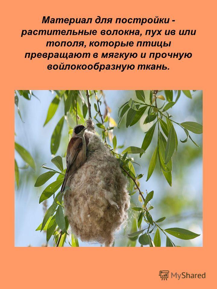 Материал для постройки - растительные волокна, пух ив или тополя, которые птицы превращают в мягкую и прочную войлокообразную ткань.