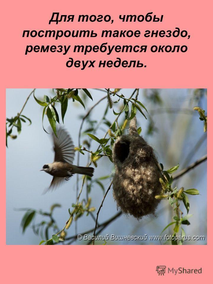Для того, чтобы построить такое гнездо, ремезу требуется около двух недель.