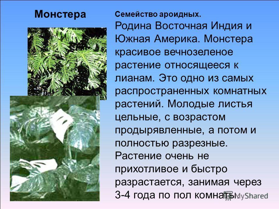 Семейство ароидных. Родина Восточная Индия и Южная Америка. Монстера красивое вечнозеленое растение относящееся к лианам. Это одно из самых распространенных комнатных растений. Молодые листья цельные, с возрастом продырявленные, а потом и полностью р