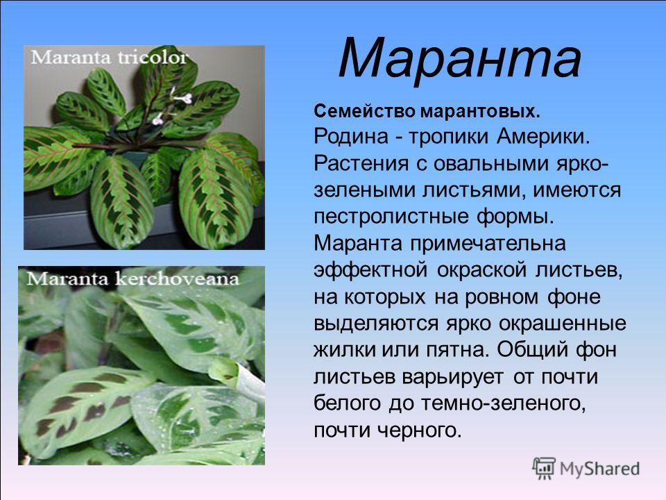 Маранта Семейство марантовых. Родина - тропики Америки. Растения с овальными ярко- зелеными листьями, имеются пестролистные формы. Маранта примечательна эффектной окраской листьев, на которых на ровном фоне выделяются ярко окрашенные жилки или пятна.