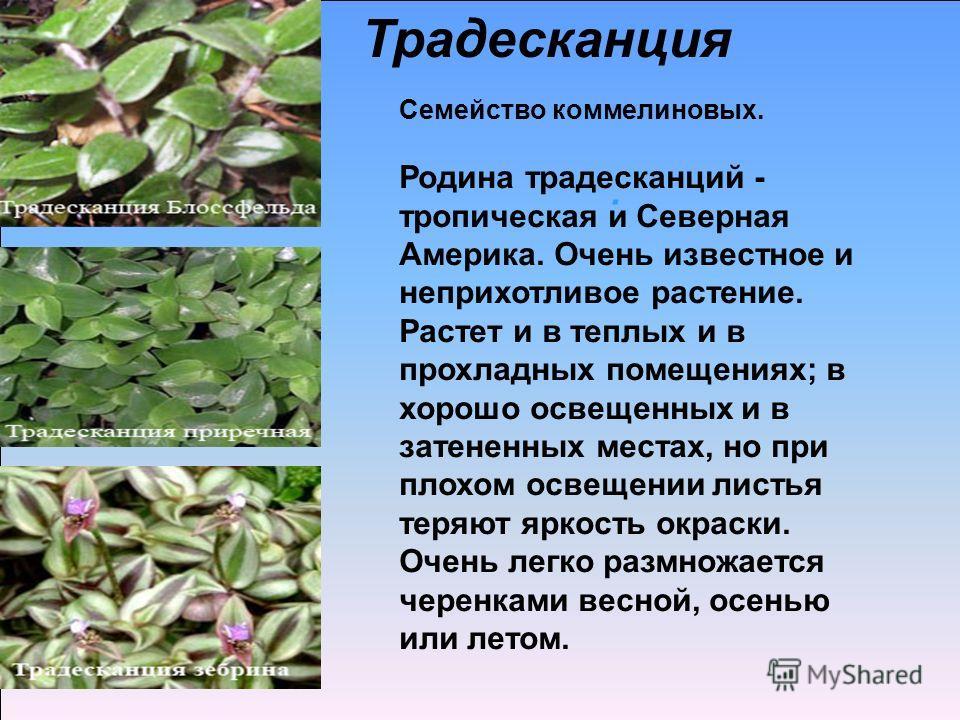 . Семейство коммелиновых. Родина традесканций - тропическая и Северная Америка. Очень известное и неприхотливое растение. Растет и в теплых и в прохладных помещениях; в хорошо освещенных и в затененных местах, но при плохом освещении листья теряют яр