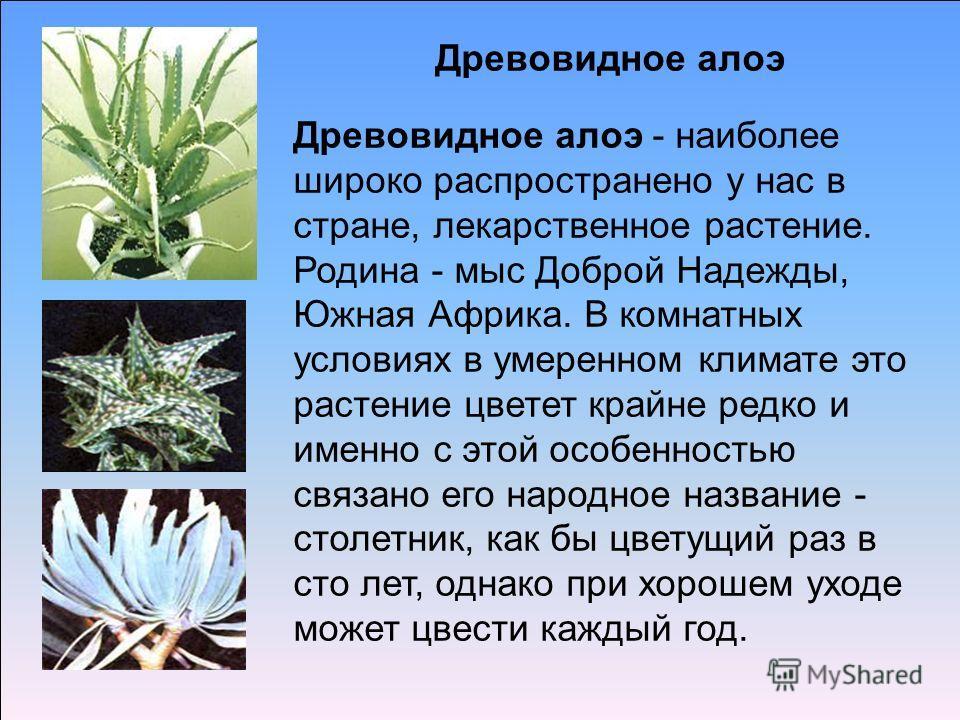 Древовидное алоэ Древовидное алоэ - наиболее широко распространено у нас в стране, лекарственное растение. Родина - мыс Доброй Надежды, Южная Африка. В комнатных условиях в умеренном климате это растение цветет крайне редко и именно с этой особенност