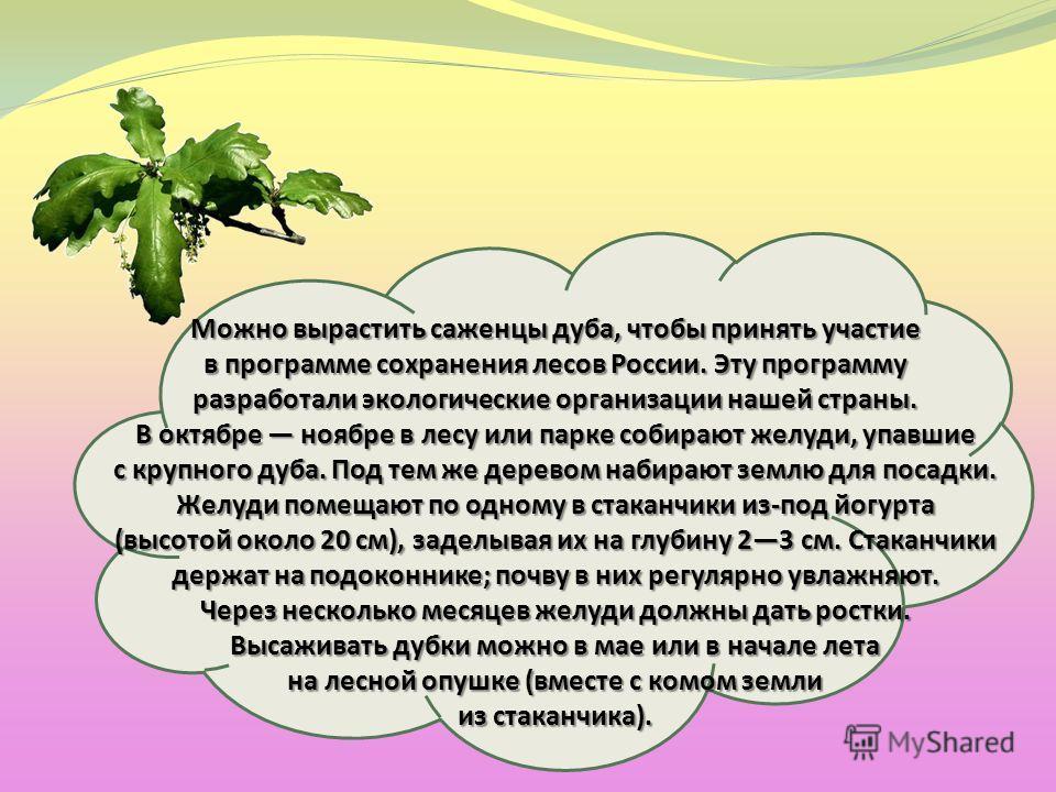 Можно вырастить саженцы дуба, чтобы принять участие в программе сохранения лесов России. Эту программу разработали экологические организации нашей страны. В октябре ноябре в лесу или парке собирают желуди, упавшие с крупного дуба. Под тем же деревом