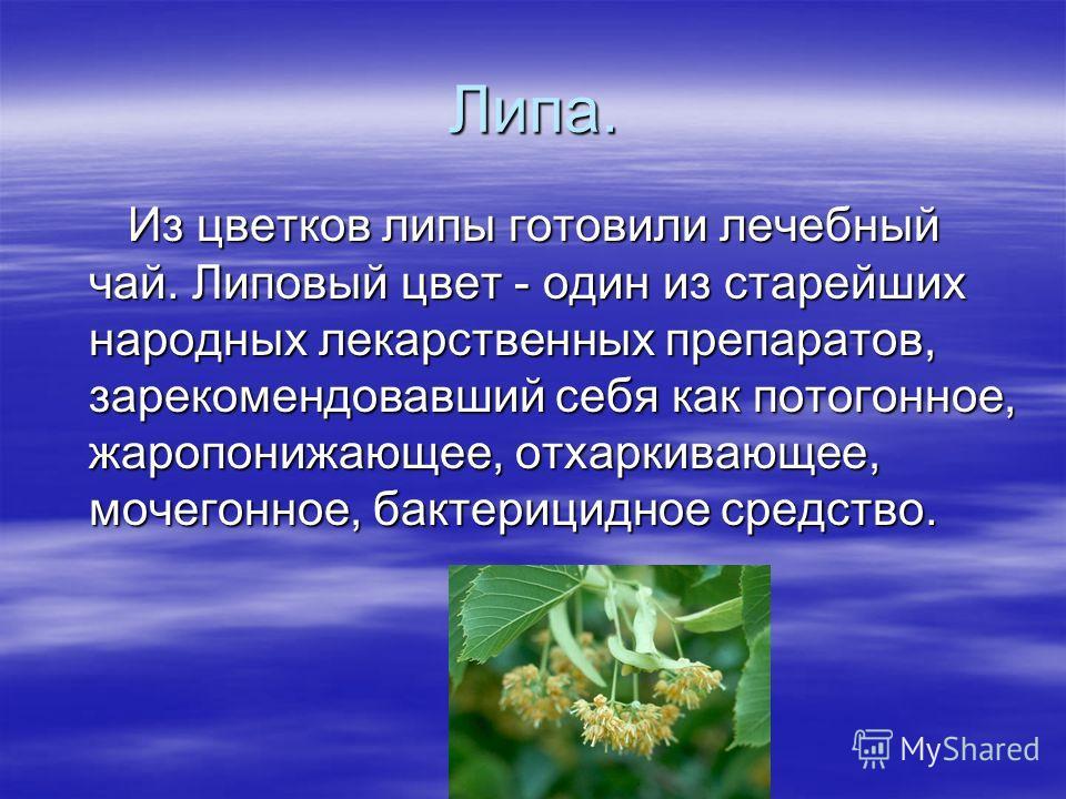 Липа. Из цветков липы готовили лечебный чай. Липовый цвет - один из старейших народных лекарственных препаратов, зарекомендовавший себя как потогонное, жаропонижающее, отхаркивающее, мочегонное, бактерицидное средство. Из цветков липы готовили лечебн