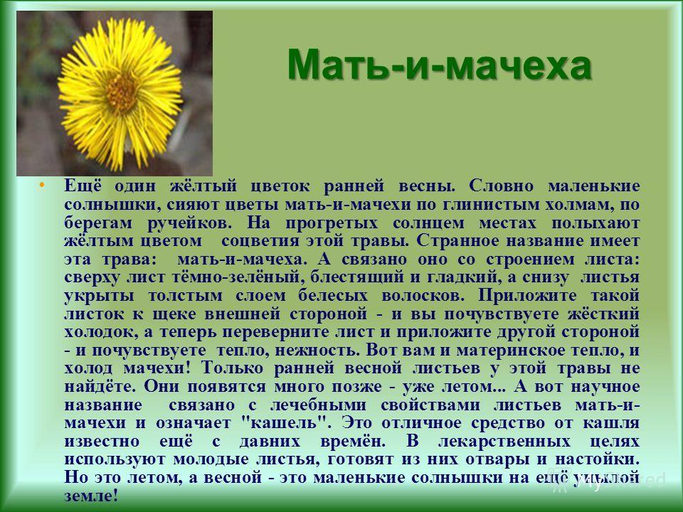 Мать-и-мачеха Ещё один жёлтый цветок ранней весны. Словно маленькие солнышки, сияют цветы мать-и-мачехи по глинистым холмам, по берегам ручейков. На прогретых солнцем местах полыхают жёлтым цветом соцветия этой травы. Странное название имеет эта трав