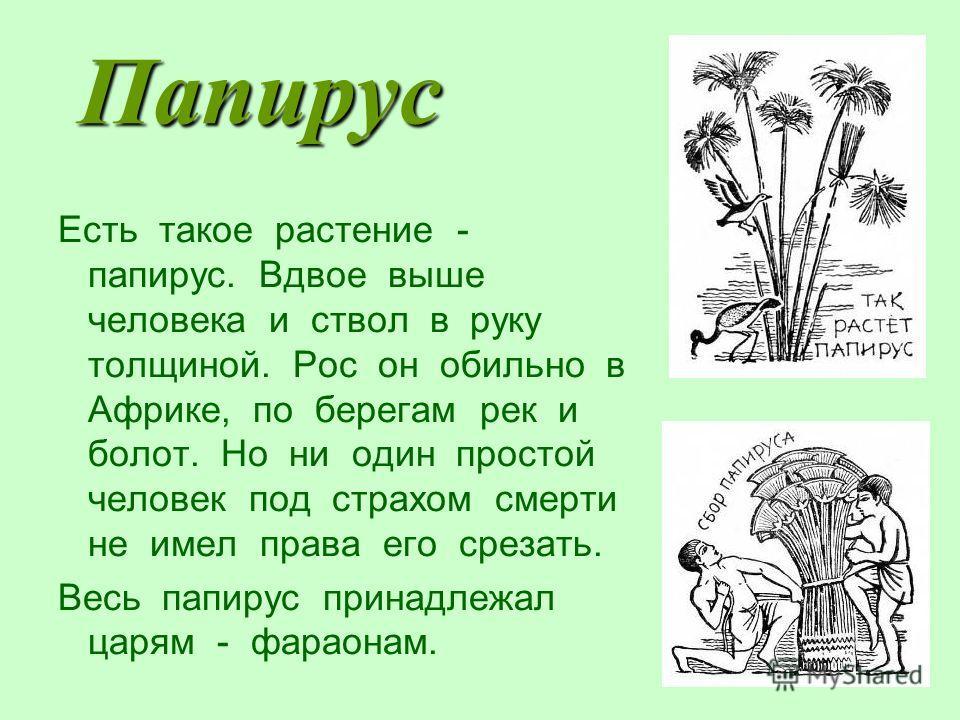 Папирус Есть такое растение - папирус. Вдвое выше человека и ствол в руку толщиной. Рос он обильно в Африке, по берегам рек и болот. Но ни один простой человек под страхом смерти не имел права его срезать. Весь папирус принадлежал царям - фараонам.