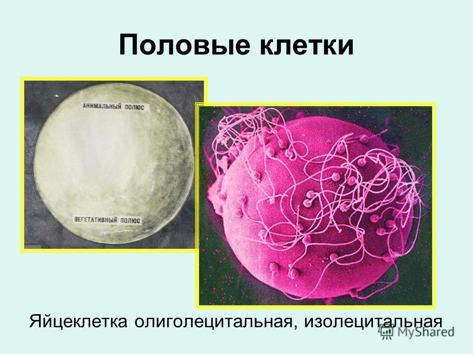 Половые клетки Яйцеклетка олиголецитальная, изолецитальная