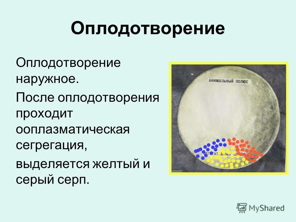 Оплодотворение Оплодотворение наружное. После оплодотворения проходит ооплазматическая сегрегация, выделяется желтый и серый серп.