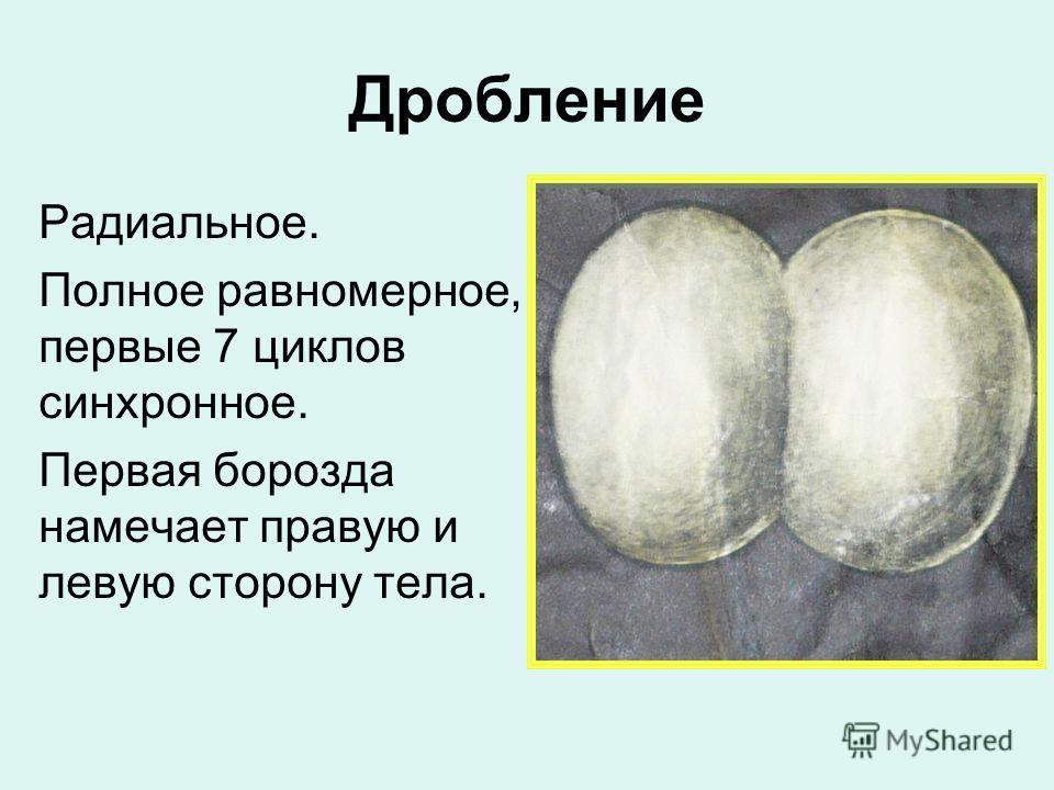 Дробление Радиальное. Полное равномерное, первые 7 циклов синхронное. Первая борозда намечает правую и левую сторону тела.