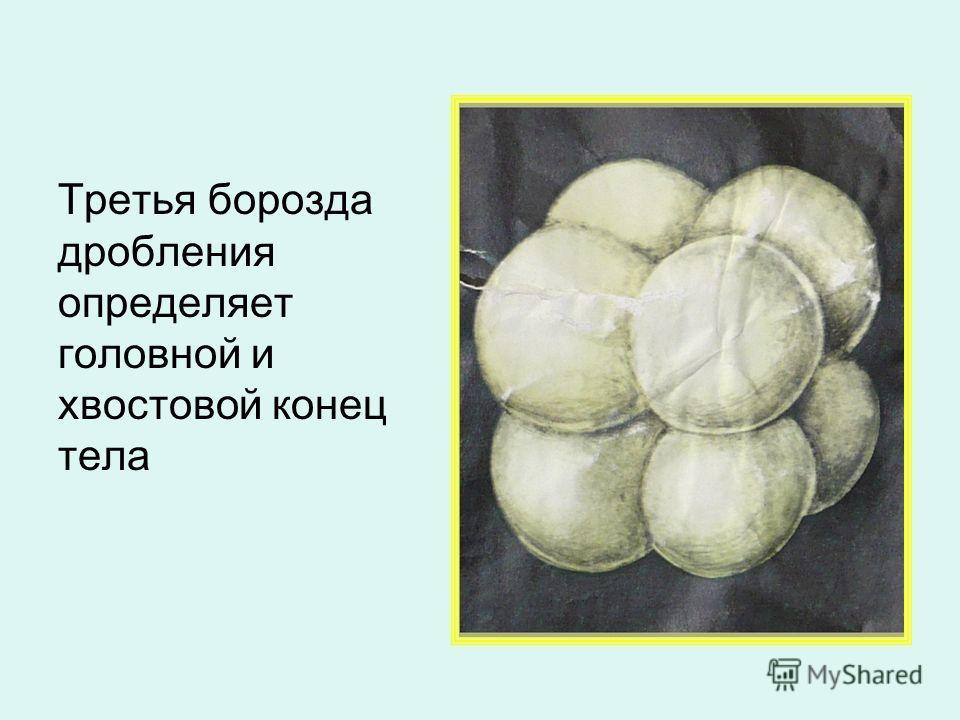 Третья борозда дробления определяет головной и хвостовой конец тела