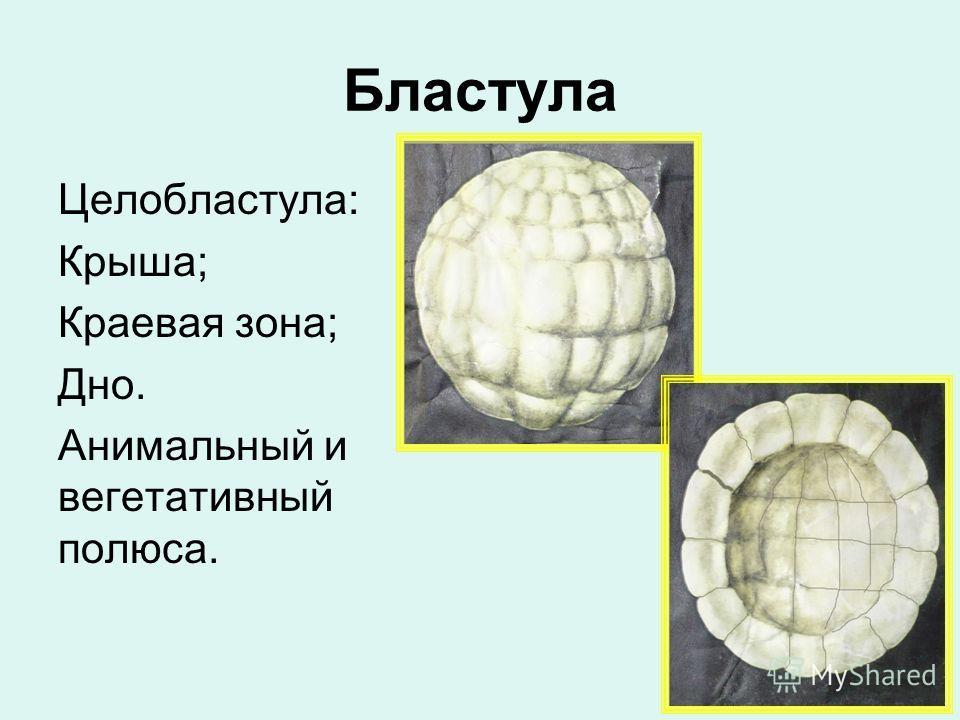Бластула Целобластула: Крыша; Краевая зона; Дно. Анимальный и вегетативный полюса.
