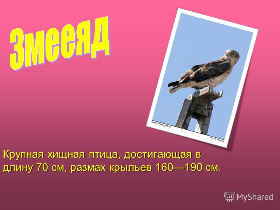Крупная хищная птица, достигающая в длину 70 см, размах крыльев 160190 см.