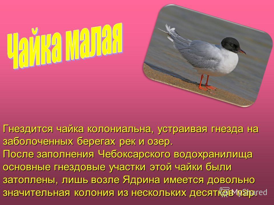 Гнездится чайка колониальная, устраивая гнезда на заболоченных берегах рек и озер. После заполнения Чебоксарского водохранилища основные гнездовые участки этой чайки были затоплены, лишь возле Ядрина имеется довольно значительная колония из нескольки