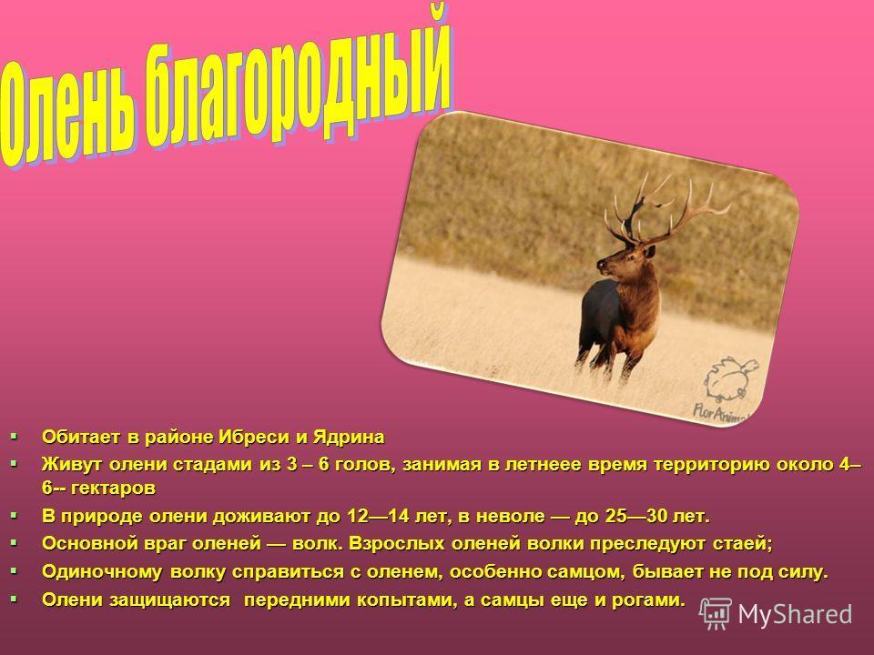 Обитает в районе Ибреси и Ядрина Обитает в районе Ибреси и Ядрина Живут олени стадами из 3 – 6 голов, занимая в летнее время территорию около 4– 6-- гектаров Живут олени стадами из 3 – 6 голов, занимая в летнее время территорию около 4– 6-- гектаров