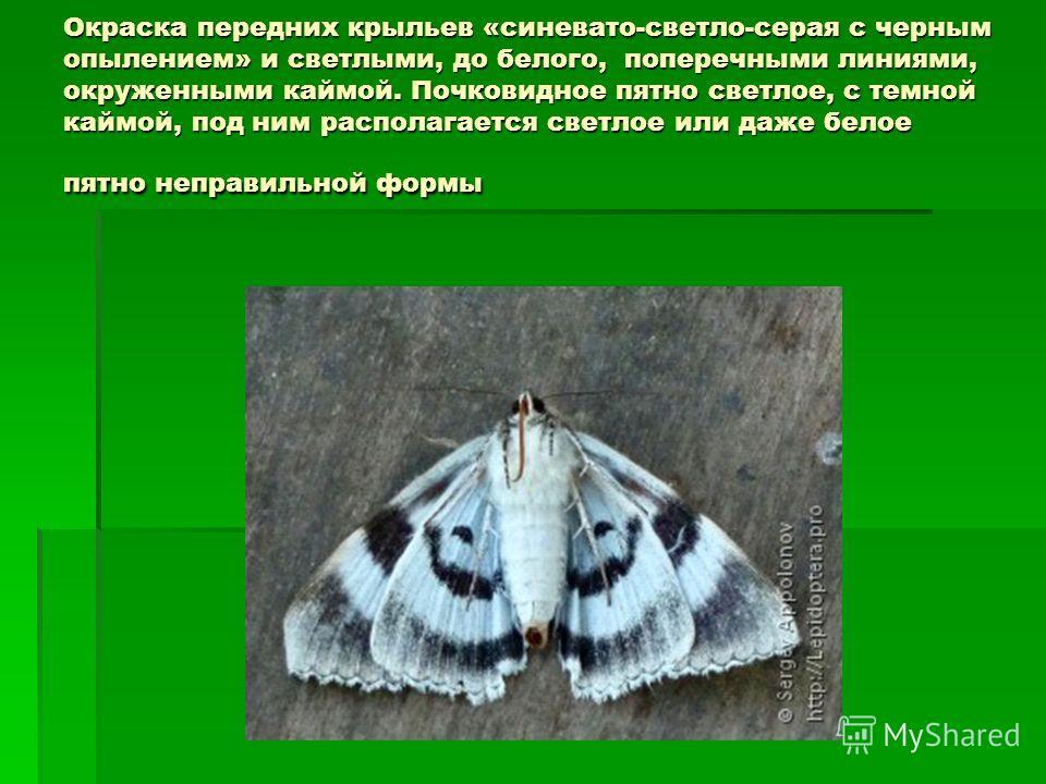Окраска передних крыльев «синевато-светло-серая с черным опылением» и светлыми, до белого, поперечными линиями, окруженными каймой. Почковидное пятно светлое, с темной каймой, под ним располагается светлое или даже белое пятно неправильной формы