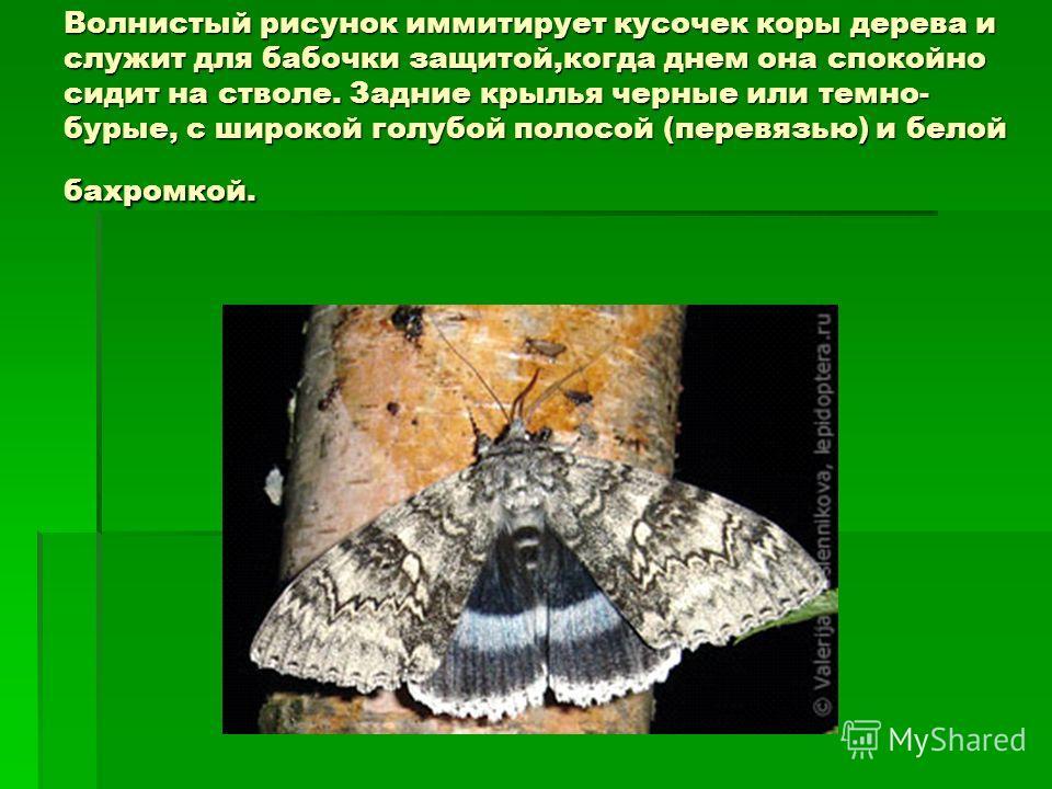 Волнистый рисунок имитирует кусочек коры дерева и служит для бабочки защитой,когда днем она спокойно сидит на стволе. Задние крылья черные или темно- бурые, с широкой голубой полосой (перевязью) и белой бахромкой.