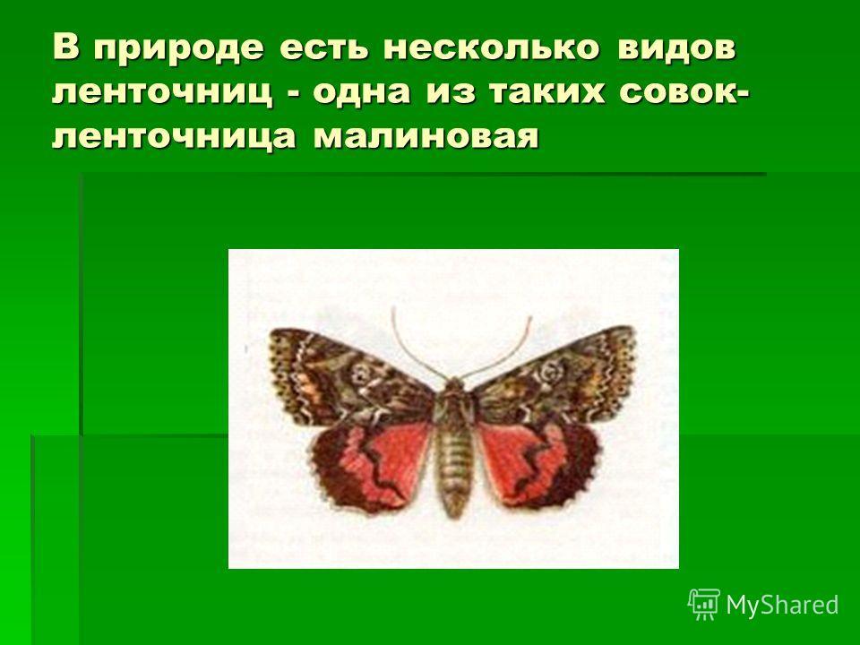 В природе есть несколько видов ленточниц - одна из таких совок- ленточница малиновая