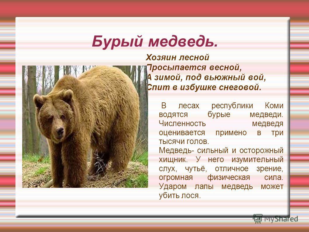 Бурый медведь. Хозяин лесной Просыпается весной, А зимой, под вьюжный вой, Спит в избушке снеговой. В лесах республики Коми водятся бурые медведи. Численность медведя оценивается примерно в три тысячи голов. Медведь- сильный и осторожный хищник. У не