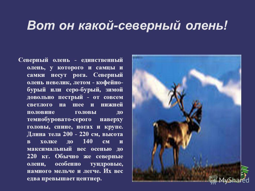 Вот он какой-северный олень! Северный олень - единственный олень, у которого и самцы и самки несут рога. Северный олень невелик, летом - кофейно- бурый или серо-бурый, зимой довольно пестрый - от совсем светлого на шее и нижней половине головы до тем