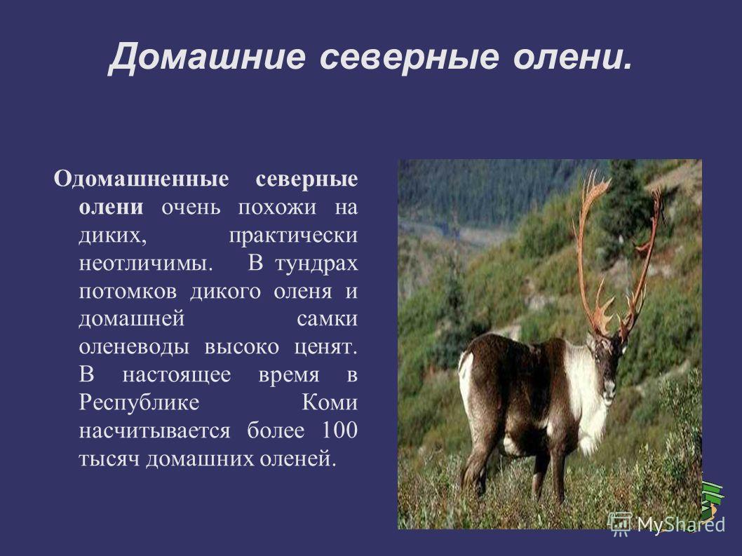 Домашние северные олени. Одомашненные северные олени очень похожи на диких, практически неотличимы. В тундрах потомков дикого оленя и домашней самки оленеводы высоко ценят. В настоящее время в Республике Коми насчитывается более 100 тысяч домашних ол