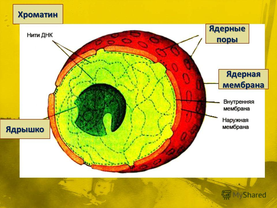 Хроматин Ядрышко Ядерные поры Ядерная мембрана