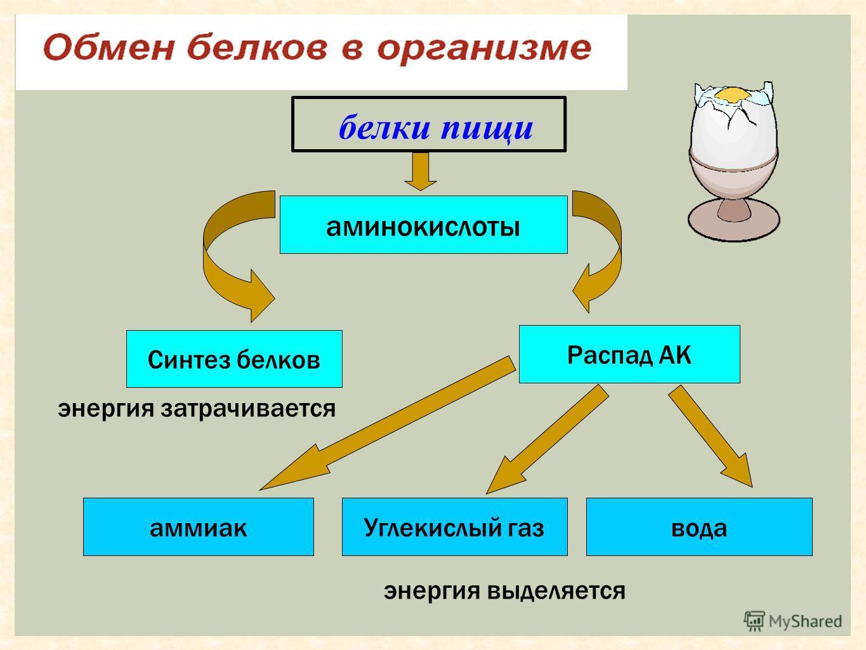белки пищи аминокислоты Синтез белков Распад АК Углекислый газ аммиак вода энергия затрачивается энергия выделяется