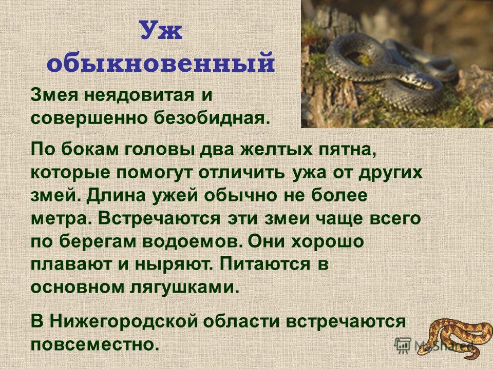 Гадюка обыкновенная Гадюка любит смешанные леса, зарастающие вырубки и гари, болота, берега озер и рек. Но может встретиться и на лугу, и в хвойном лесу. Гадюка – ядовитая змея, но она миролюбива, человека кусает только в том случае, если он наступит