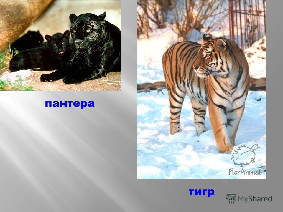 пантера тигр