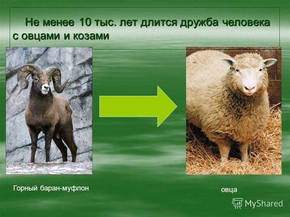 Не менее 10 тыс. лет длится дружба человека с овцами и козами Не менее 10 тыс. лет длится дружба человека с овцами и козами Горный баран-муфлон овца