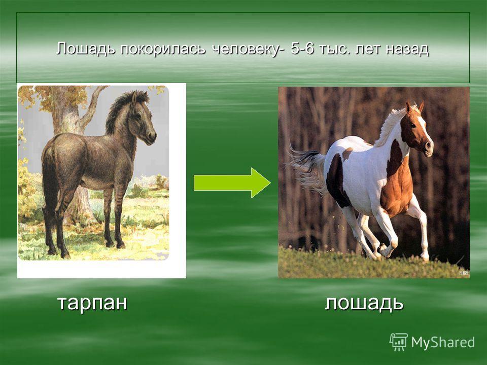 Лошадь покорилась человеку- 5-6 тыс. лет назад тарпан лошадь тарпан лошадь