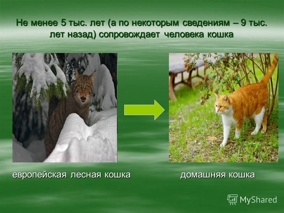 Не менее 5 тыс. лет (а по некоторым сведениям – 9 тыс. лет назад) сопровождает человека кошка европейская лесная кошка домашняя кошка