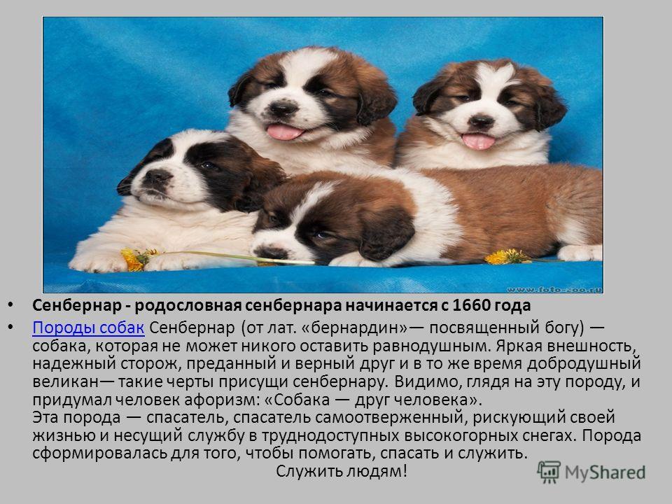 Сенбернар - родословная сенбернара начинается с 1660 года Породы собак Сенбернар (от лат. «бернардин» посвященный богу) собака, которая не может никого оставить равнодушным. Яркая внешность, надежный сторож, преданный и верный друг и в то же время до