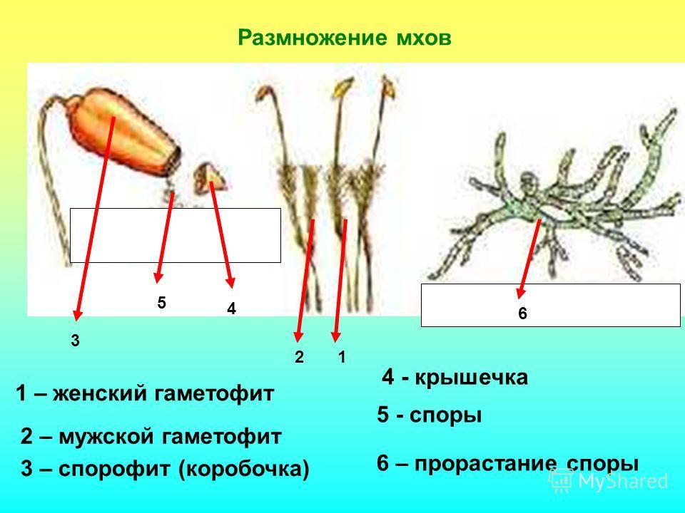 Размножение мхов 21 3 4 5 6 1 – женский гаметофит 2 – мужской гаметофит 3 – спорофит (коробочка) 4 - крышечка 5 - споры 6 – прорастание споры