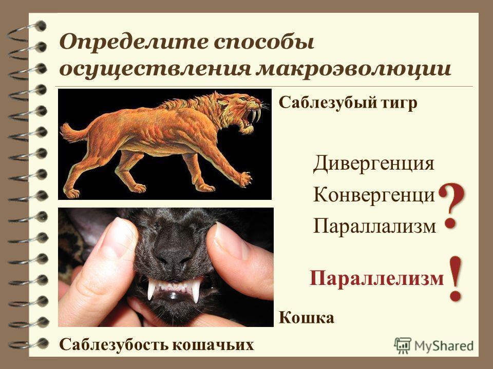 Дивергенция Конвергенци Параллализм Параллелизм Саблезубость кошачьих Саблезубый тигр Кошка Определите способы осуществления макроэволюции